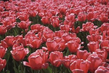 Once tulip blossoms have begun to drop petals, the blooms should be removed.