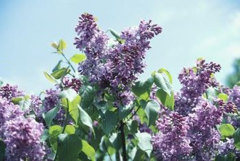 Lilac shrubs create informal-looking hedges.