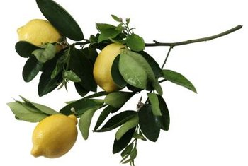 Prune potted lemons to maintain an open canopy with healthy branches.