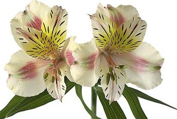 Bright Peruvian lilies aren't safe for cats to eat.