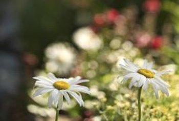 Shasta daisies often are included in flower beds.
