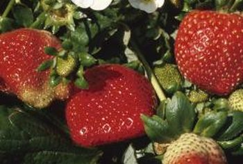 Strawberry plants grow well in sunny patches.