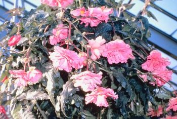Trailing-scandent begonias cascade from hanging baskets.