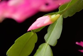 Christmas cactus can grow 1 foot tall and 2 feet wide.