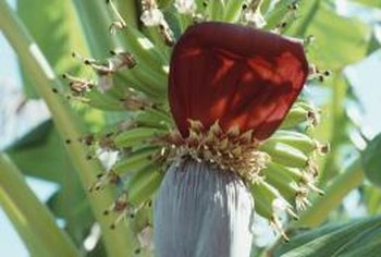 Banana trees produce striking red flowers before fruiting.