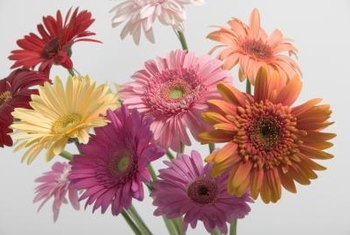 Gerbera daisies have large, boldly colored flowers.
