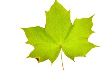 This maple leaf shows the classic shape that inspired the naming of the maple-leaf viburnum.