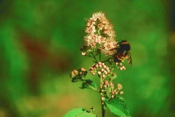 Honeybees are attracted to blooms of false spirea.