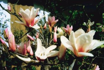 Japanese magnolias put on a dramatic spring floral show.