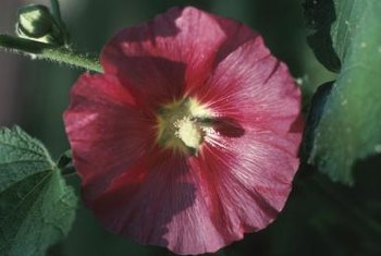 """Luna"" hibiscus plants have red, white, or pink-with-white flowers."