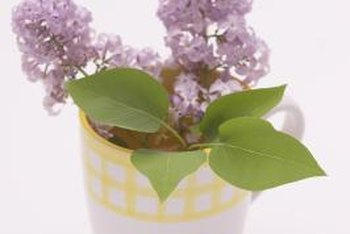 Lilacs can put on a show in summer and autumn as well as spring.