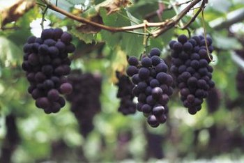 Muscadines produce small clusters of black to deep purple grapes.