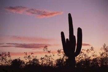 The saguaro cactus is an icon of the American Southwest.