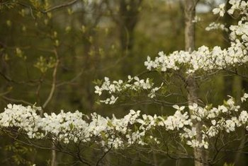Mature kousa dogwoods have layered horizontal branches.