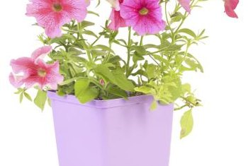 Try to purchase transplants that are short, compact and not yet blooming.
