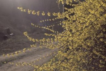 A blooming forsythia hedge makes a dramatic statement in early spring.