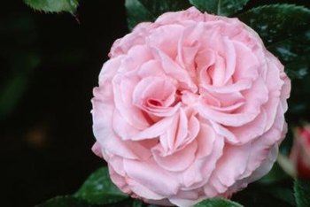 Most English roses are heavily petaled, giving them an old-fashioned appearance.