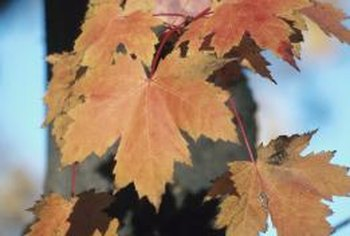 Acer saccharum leaves usually have five lobes with toothed margins.