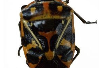 Adult harlequin cabbage bugs have distinctive markings, making identification easy.
