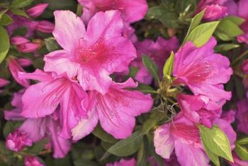 With their showy flowers, azaleas brighten a yard.