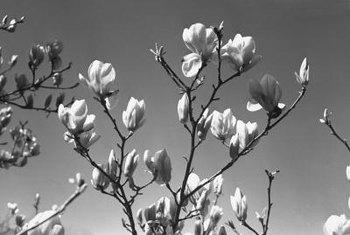 Southern magnolia may have an open habit in a shady site.