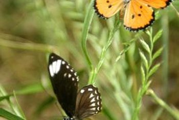 Create a safe area for butterflies by providing nectar and larval plants.