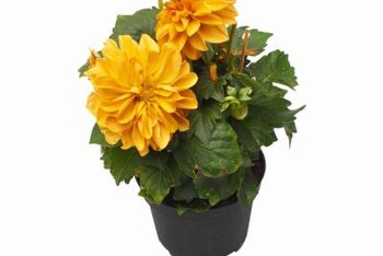 Feed and water potted flowers regularly for healthy plants.