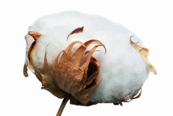 Cotton is a fiber made almost entirely of pure cellulose.