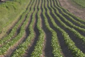 Potatoes grow best in full-sun sites with sandy loam that drains well.