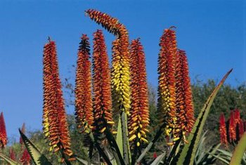 Hummingbirds pollinate some species of aloe.