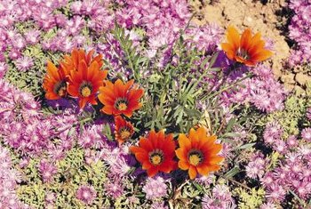 Gazanias add an exotic touch to desert gardens.