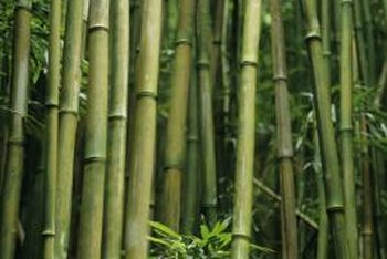 Bamboos grow rapidly for about 60 days in the spring and summer.