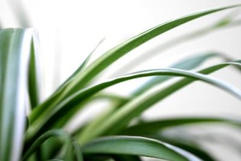 A spider plant's grassy foliage burns in full sun.