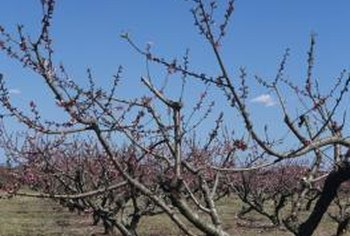 Pruning peach trees helps increase the size of peaches and makes them easier to pick.
