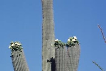 Saguaro blossoms appear on the tips of stem and arms.