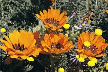 Gazania thrives in poor, dry soil.