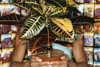 Some rubber tree leaves grow with yellow, pink or white designs.