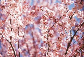 Cherry blossom trees typically bear white or pink flowers.