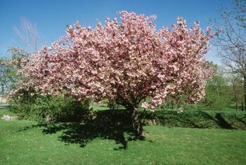 A cherry tree's root system extends well beyond its branches.