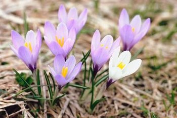 Crocus' size and bloom time make them appropriate for planting in lawns.
