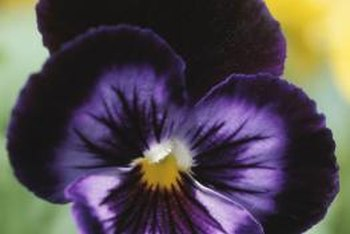 Pansies have the effect of looking at you with their colorful blooms.