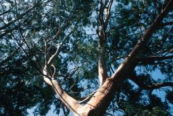 There is debate about whether eucalyptus mulch shares the insect repelling capabilities of living eucalyptus trees.
