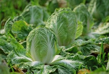 Lettuce produces seed when the weather gets too warm for it.