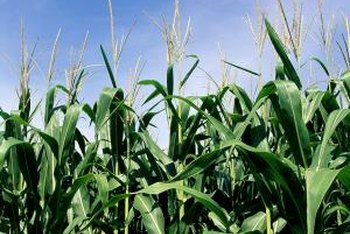 Corn grows rapidly to fill the garden with its tall stems and leaves.