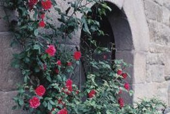 Good pruning practice will help ensure abundant blooms on climbing roses.