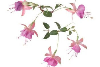 Delicate fuchsias require lots of fertilizer.