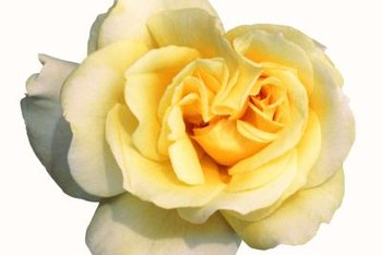 Yellow roses come in shades from pale butter to bright gold.