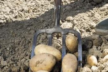Cage-grown potatoes don't require digging during harvest.