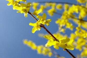 Forsythia blooms on old wood.