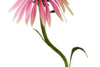Purple coneflower grows on tall, fuzzy stems.